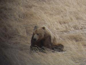 Alaska Bear Photo - Kelly Vrem's Rough & Ready Guide Service