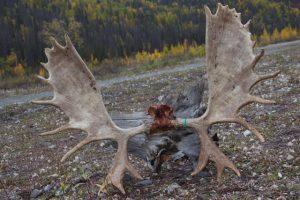 Big Moose - Alaska Moose Hunting