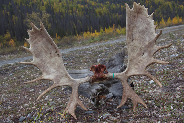 Big Moose - Alaska Moose Hunting